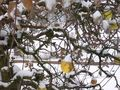 Apple_in_snow